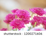 colorful flowers chrysanthemum... | Shutterstock . vector #1200271606