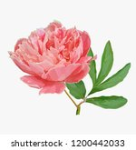 a picturesque peony flower....   Shutterstock .eps vector #1200442033