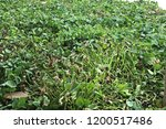 water hyacinth background | Shutterstock . vector #1200517486