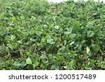 water hyacinth background | Shutterstock . vector #1200517489