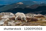 Small photo of Mountain goat eat plants in the alpine tundra with amazing backdrop of mountains off drop off of mount Evans Colorado Rocky Mountain scene with wild life and natural beauty