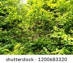 green vegetation in the wood in ... | Shutterstock . vector #1200683320