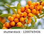 sea buckthorn. different parts... | Shutterstock . vector #1200765436