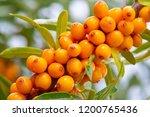 sea buckthorn. different parts... | Shutterstock . vector #1200765436