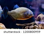 red bellied piranha pygocentrus ... | Shutterstock . vector #1200800959