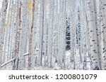 aspens holding onto the first... | Shutterstock . vector #1200801079