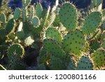 Opuntia Cactus Or Eastern...