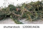 felled fir tree on ground in... | Shutterstock . vector #1200814636