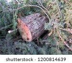 closeup of felled fir tree on... | Shutterstock . vector #1200814639