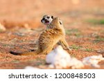 the meerkat or suricate ... | Shutterstock . vector #1200848503