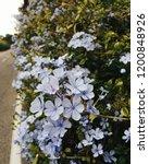 Pastel Blue Plumbago Flowers ...