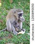 vervet monkey mother with an... | Shutterstock . vector #1200890050