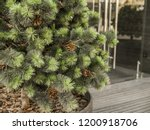coniferous urban small tree... | Shutterstock . vector #1200918706