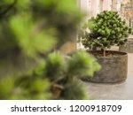 coniferous urban small tree... | Shutterstock . vector #1200918709
