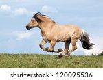 Beautiful Fjord Horse Running...