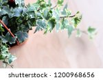 close up english ivy plant vine ... | Shutterstock . vector #1200968656