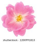 beautiful pink rose flower...   Shutterstock . vector #1200991813