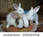 Stock photo baby rabbits in farm feeding rabbits little rabbits eat instant rabbit food in wooden cage 1201011946