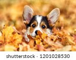Stock photo welsh corgi puppy in autumn leaves 1201028530