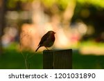 the songbird rests. | Shutterstock . vector #1201031890