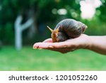 snail on the palm of a woman.... | Shutterstock . vector #1201052260