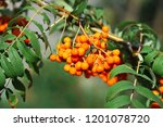 rowan berries  mountain ash ... | Shutterstock . vector #1201078720