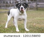 a mastiff mixed breed dog with... | Shutterstock . vector #1201158850