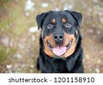 a purebred rottweiler dog with... | Shutterstock . vector #1201158910