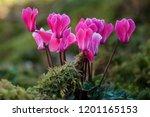 Closeup Of Pink Cyclamen In A...