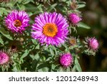 New England Aster ...