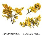 Gorse De Provence In Bloom  On...