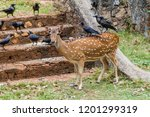 chital and crows in the fort... | Shutterstock . vector #1201299319