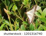 the box tree moth   Shutterstock . vector #1201316740