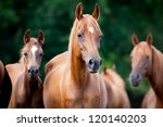 Stock photo herd of arabian horses 120140203