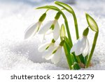 spring snowdrop flowers with... | Shutterstock . vector #120142279