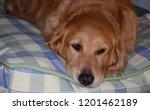 close up of a tired  golden... | Shutterstock . vector #1201462189