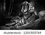 B W Yawning Bengal Tiger...