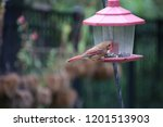 female northern cardinal... | Shutterstock . vector #1201513903