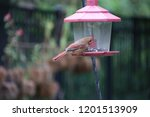 female northern cardinal... | Shutterstock . vector #1201513909