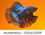 black and blue color cupang or... | Shutterstock . vector #1201613359