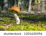 big leccinum grow in sun rays... | Shutterstock . vector #1201630396
