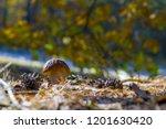 small white cep mushroom... | Shutterstock . vector #1201630420