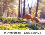 two big leccinum grows in sun... | Shutterstock . vector #1201630426