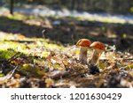 two mushrooms grow in sun rays... | Shutterstock . vector #1201630429
