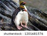 Couple Macaroni Penguins  ...