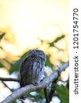 eurasian pygmy owl swabian jura ...   Shutterstock . vector #1201754770