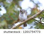 eurasian pygmy owl swabian jura ...   Shutterstock . vector #1201754773