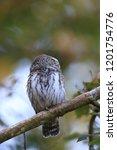 eurasian pygmy owl swabian jura ...   Shutterstock . vector #1201754776