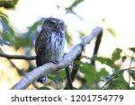 eurasian pygmy owl swabian jura ...   Shutterstock . vector #1201754779
