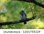 eurasian pygmy owl swabian jura ...   Shutterstock . vector #1201755229